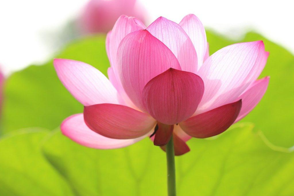 lotus, flower, blossom